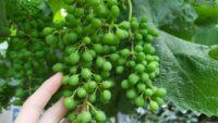 Njega vinograda krajem juna i početkom jula