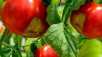 Nedostatak kalcijuma kod paradajza i paprike
